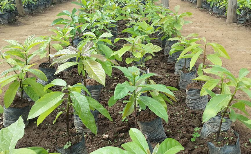 Avocado seed bed in Kamonyi district set up by one organisation to help people fight mulnutrition.